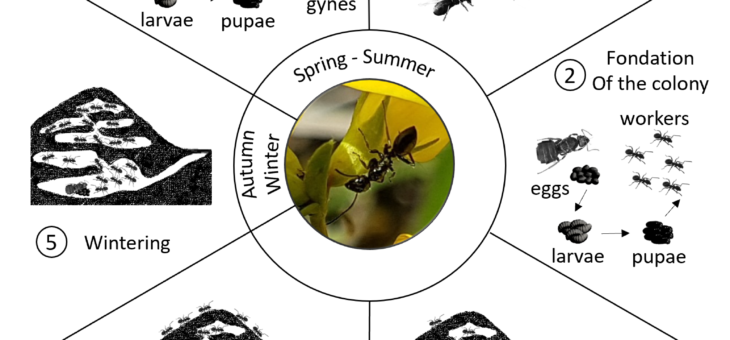 Life cycle of the Small Black Ant Lasius niger