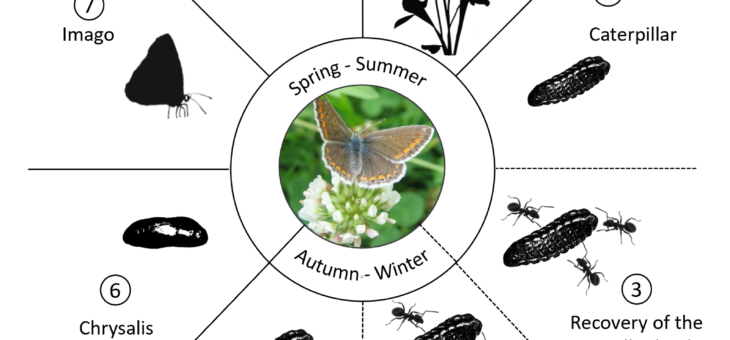 Life cycle of Common Blue butterfly
