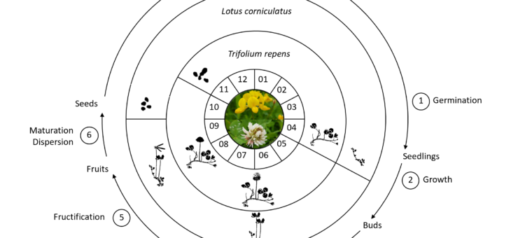 Life cycles of host plants of the butterfly Polyommatus icarus