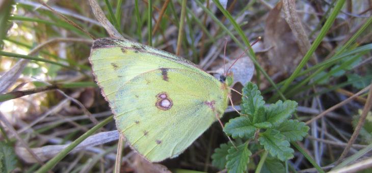 Découvrir les papillons de France : Le fluoré