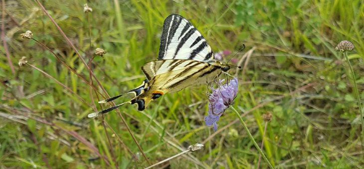 DISCOVER BUTTERFLIES : Scarce Swallowtail