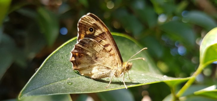 Discover butterflies : The Speckled Wood