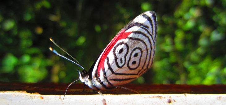 Découvrir les papillons du monde : Double 8