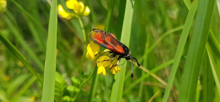 Discover butterflies :  Zygaena loti