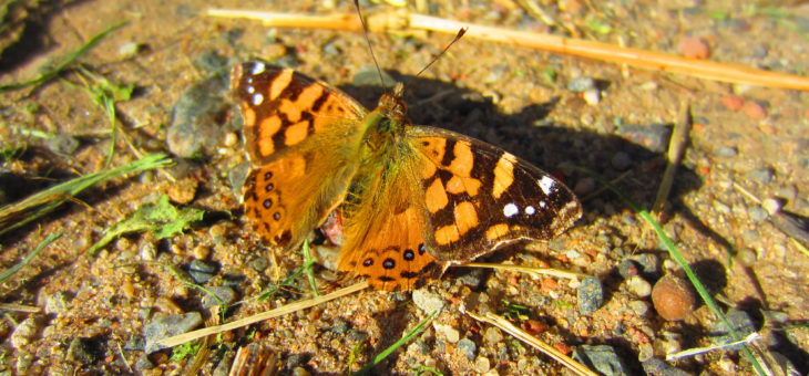 Discover butterflies : Vanessa carye
