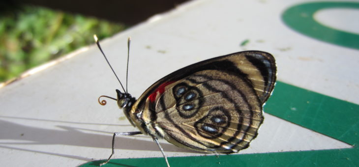 Discover butterflies of the world : Pygas Eighty-eight