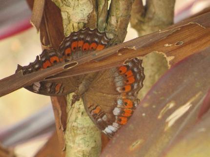 Papillons au Nigeria : Precis octavia