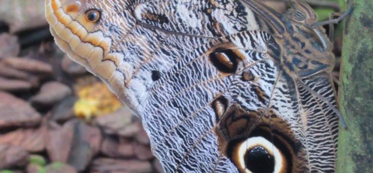 Discover butterflies in the world : Owl butterflies
