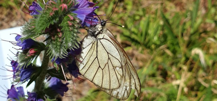 Discover butterflies of France : The Black-veined
