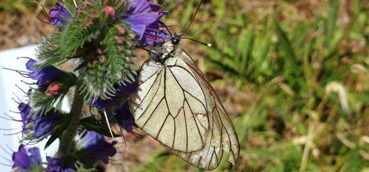 Découvrir les papillons de France : Le Gazé