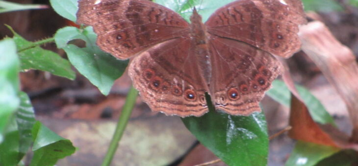 Nigeria Butterflies Project : Junonia stygia