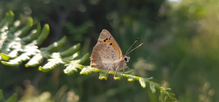 Discover butterflies : The Small Copper