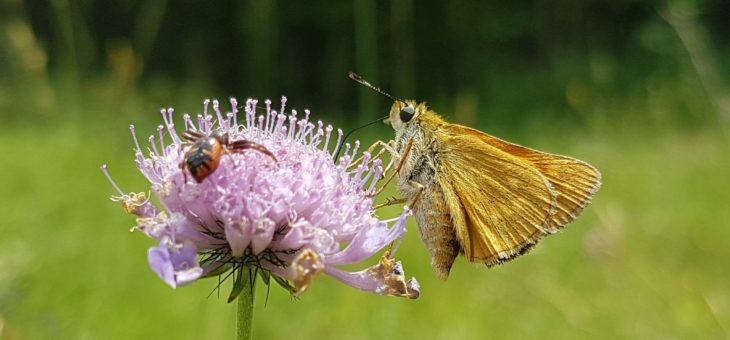 DISCOVER BUTTERFLIES : The Large Skipper