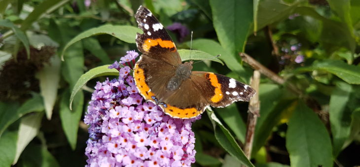 Discover butterflies : The Red Admiral