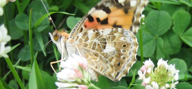 Discover butterflies : Painted Lady