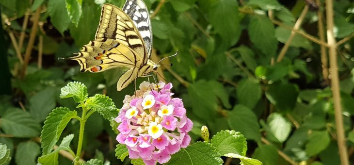 Discover butterflies : The Old World swallowtail
