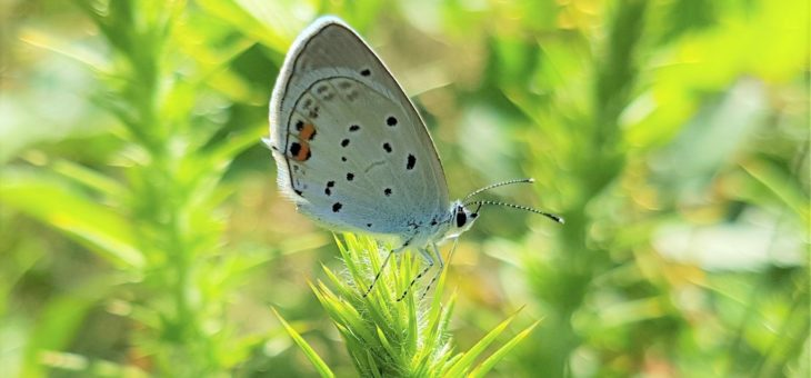 Discover butterflies : The short-tailed Blue