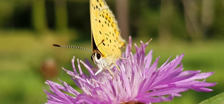 Discover butterflies : The Sooty Cooper