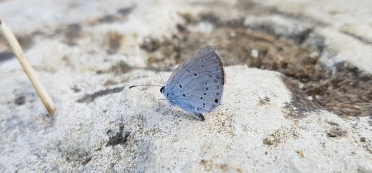 Discover butterflies : The Small Blue