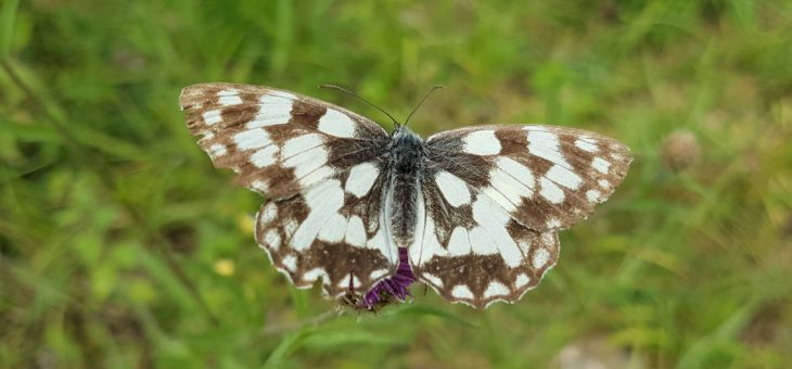 Discover butterflies : The marbled white