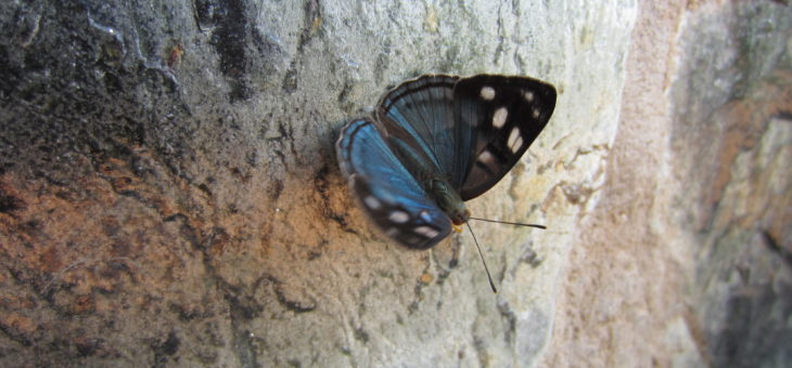 Discover butterflies of the world : Dynamine sara