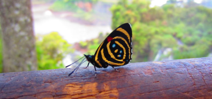 Discover butterflies of the world : Callicore hydaspes
