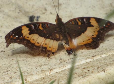 Discover butterflies of Nigeria : Precis pelarga