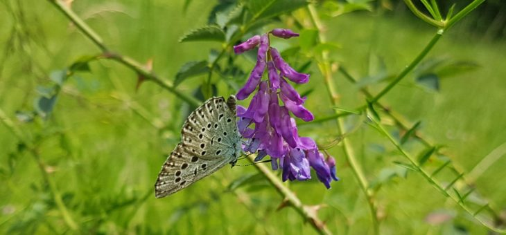 Discover butterflies in France : The Large Blue