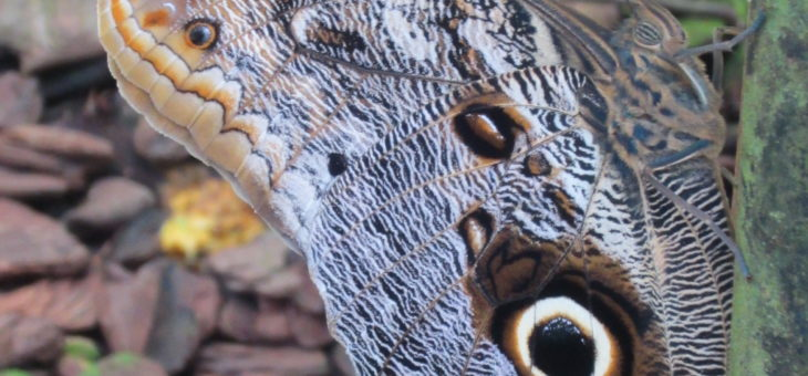 Poll on snake-owl butterfly