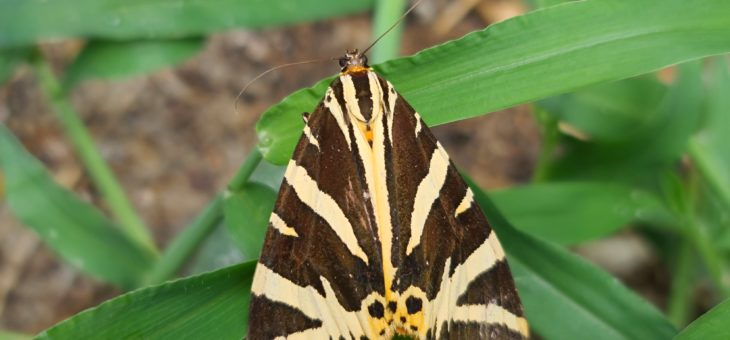 Discover butterflies in France : The Jersey Tiger