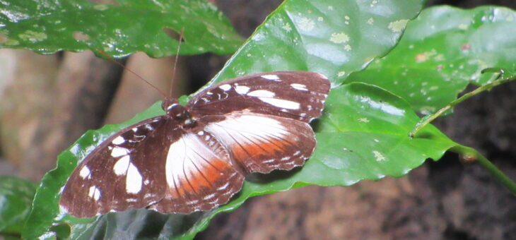 Butterflies of Nigeria : Aterica galene