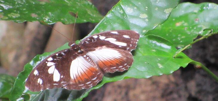 Papillons du Nigeria : Aterica galene