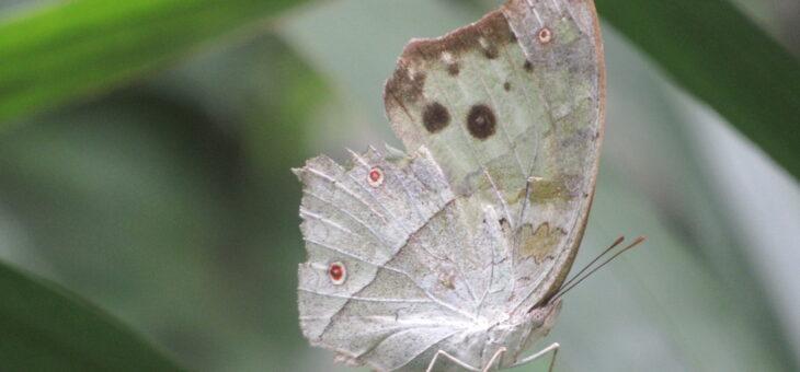 Projet les papillons du Nigeria : Protogoniomorpha parhassus