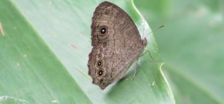 Butterflies of Nigeria : Bicyclus martius sanaos