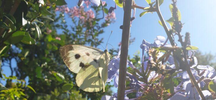 Découvrir les papillons de France : La Piéride du chou