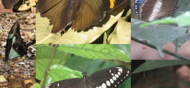 Nigeria Butterfly Project