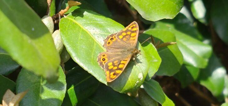 Les papillons du jardin : Le Tircis
