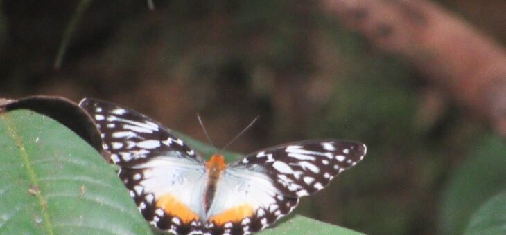 The butterflies of Nigeria : The Becker's Creamy Yellow Glider