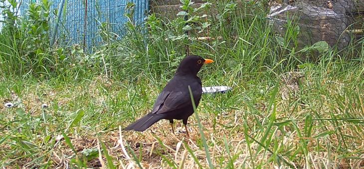 Discover garden animals in France : the Common Blackbird