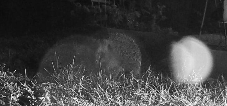 Garden animals in France : Hedgehog