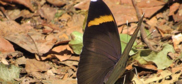 Butterflies of Nigeria : Euphaedra losinga (Dark Brown Forester)