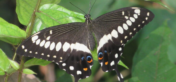 Discover butterflies of Nigeria : Western Emperor Swallowtail
