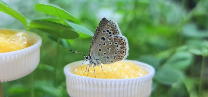 Comment mangent les papillons ?