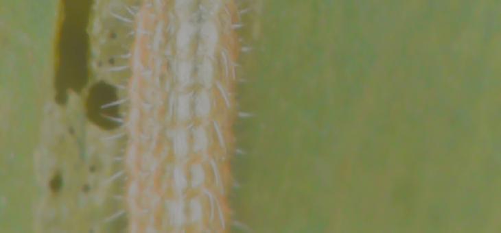 ExplorEcoLab : caterpillar growth